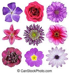 Vário, Cor-de-rosa, roxo, vermelho, flores, isolado,...