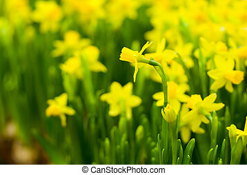 Daffodils - Flowerbed with yellow small daffodils in spring...