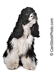 American Cocker Spaniel - black and white American Cocker...