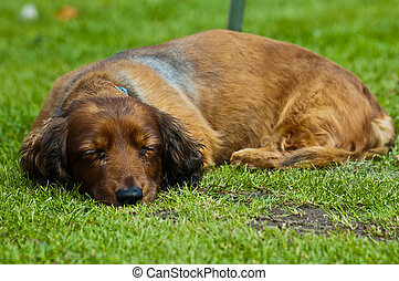 sleeping sausage dog - an old sleeping sausage dog