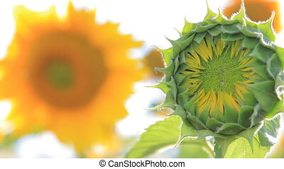 Green unripe sunflower