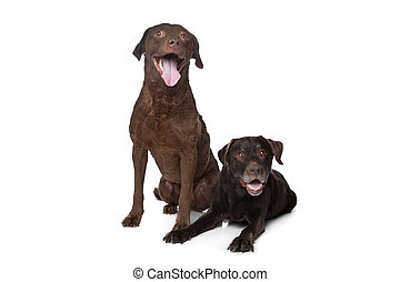 Chesapeake Bay retriever and a Labrador in front of white...