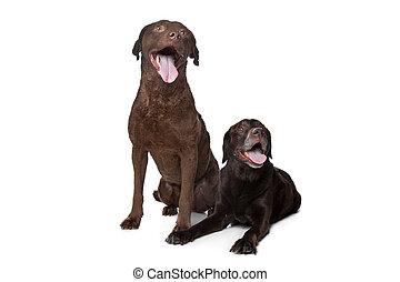 Chesapeake Bay retriever and a Labrador