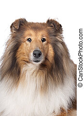 Rough Collie or Scottish Collie in front of a white...