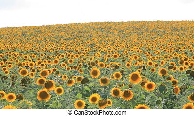 6-in-1 Sunflower field