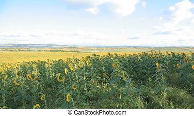 walking around sunflower field