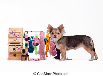 Chihuahua and its clothes - Tiny Chihuahua standing next to...