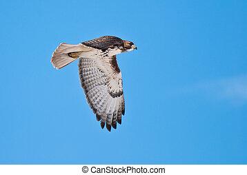 Red-Tailed Hawk in Flight Across Blue Sky