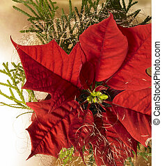 poinsettia flower - christmas background with poinsettia...