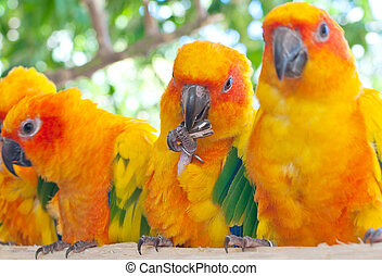 The Sun Parakeet or Sun Conure (Aratinga solstitialis) is a...