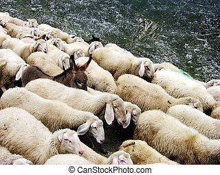 flock of sheep on a Pasubio with donkey - flock of sheep...
