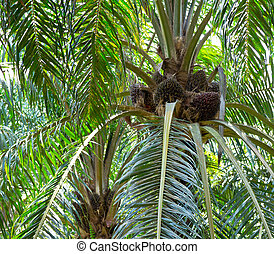 Oil palm tree nut clusters at the base of the fronds, soon...