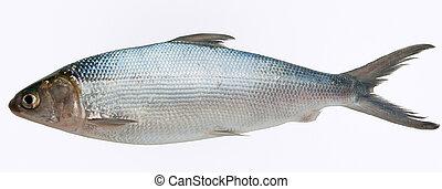 Milkfish, aislado, contra, blanco, Plano de fondo