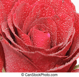 Red rose with water drop