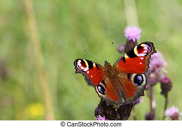 Admiral butterfly - Beautiful colored Admiral butterfly on...