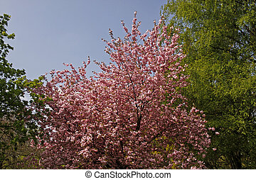 Japanese cherry tree, Germany - Japanese cherry tree in the...