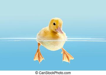 patito, natación, primero, tiempo