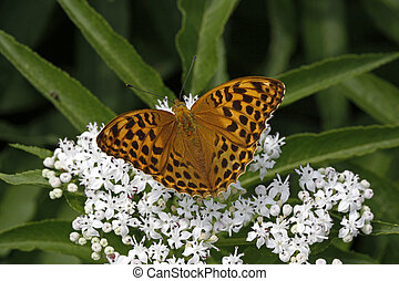 Argynnis paphia on dwarf elder - Silver-washed fritillary...