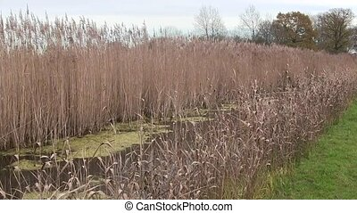 Reeds growing in the fen in England