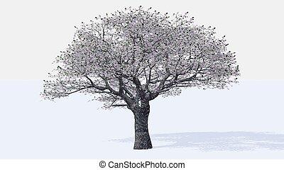 櫻桃, 樹