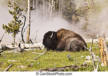 Buffalo Near Hot Spring - A single massive buffalo lying...