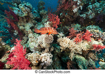 Coral reef in the Red Sea.