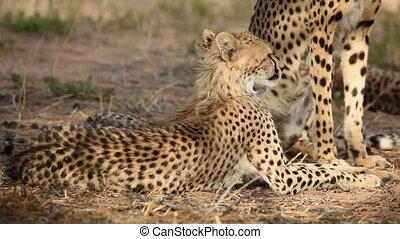 Cheetah with cub - Young cheetah cub (Acinonyx jubatus),...