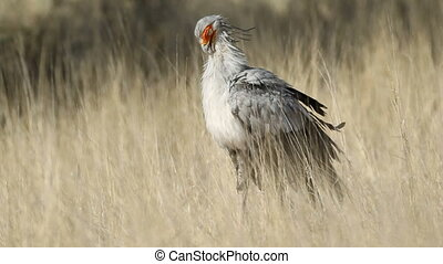 Secretary bird (Sagittarius serpentarius) preening its...