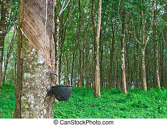 Rubber tree in south of thailand