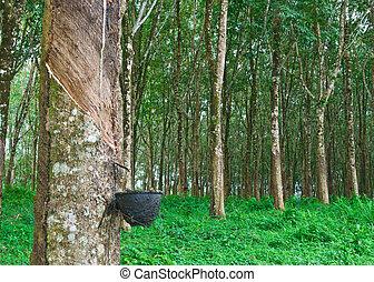 caucho, árbol