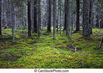 Dark Thicket - The dark thicket coniferous forest, overgrown...