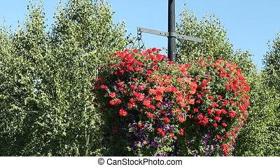 Red Petunia Flowers - Two very large and beautiful red and...