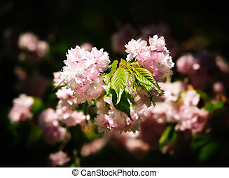 Japanese cherry-tree blossoms - Soft glow of Japanese...