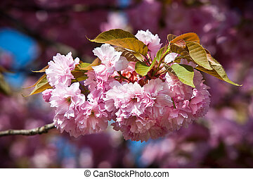 Japanese cherry-tree blossom - Soft pink Japanese...