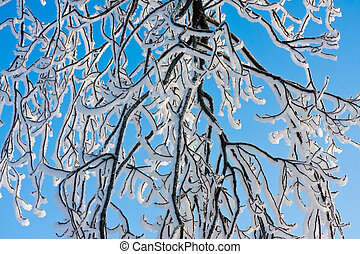 Branches covered with hoar frost while the bright sun is...