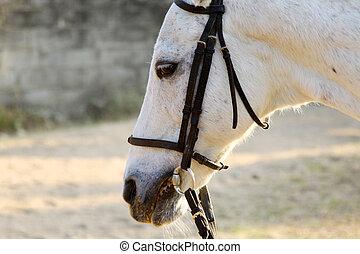 närbild, Häst, vit