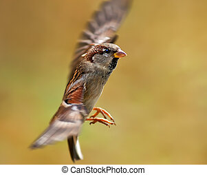 Flying Sparrow - Flying sparrow on a blurred background