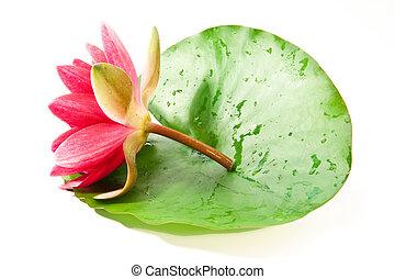 fresh lotus on leaf