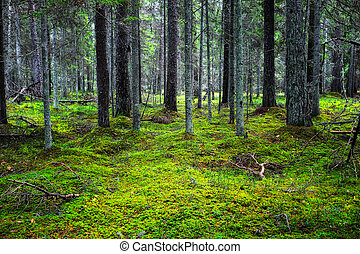 Wild Scenery - The lush majestic coniferous forest,...