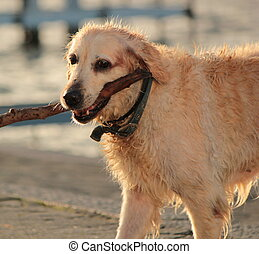 Labrador retriever holding a piece of log - Picture of wet...