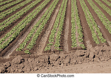 Rows of Young Lettuce