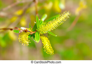 macro shot of blooming willow tree Salix caprea summertime