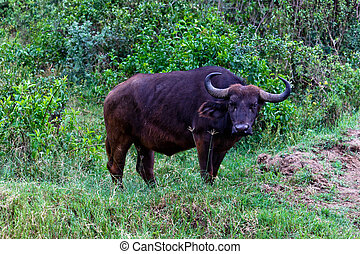 Buffalo - The Buffalo in the Masai Mara park