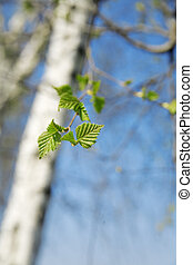 barrel of birch with green young foliage on a background of...