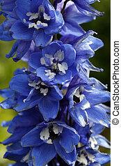 Delphinium dark blue - The beautiful flower Delphinium Dark...