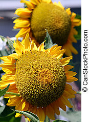 Helianthus annuus - A giant sunflower, Helianthus annuus....