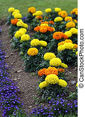 Tagetes erecta - Some carnations, tagetes erecta, on a...