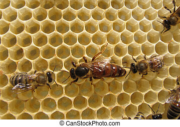 Queen Bee lays eggs. She is accompanied by a bee.