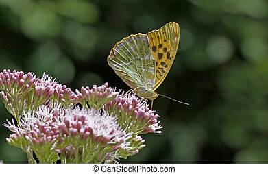 Argynnis paphia, Silver-washed - Silver-washed fritillary...