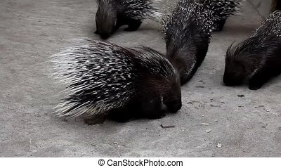 Porcupines on a light background (Hystrix cristata)